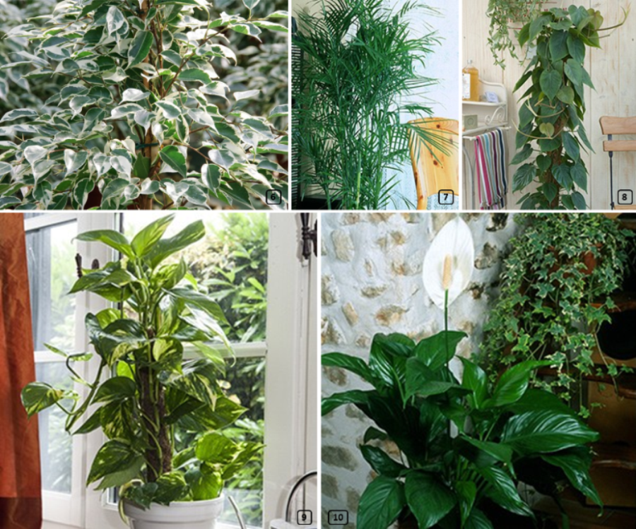 Air-filtering plants for homes